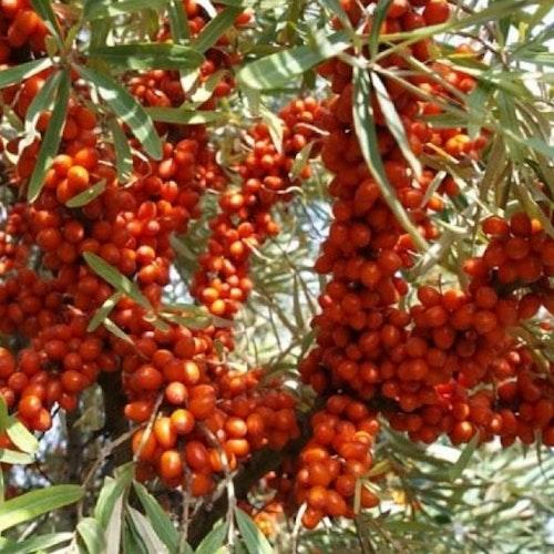 "Havtorn ""Sirola""-Hippophae  rhamnoides ""Sirola"""