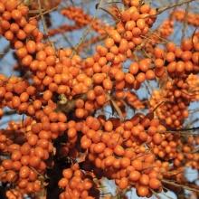 "Havtorn ""Orange Energy"" -Hippophae rhamnoides  ""Orange Energy"""