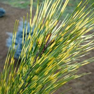 "Japansk tall - Pinus densiflora "" Ocolus Draconis"""