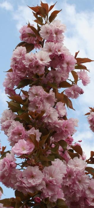"""Japansk prydnadskörsbär -   Prunus serrulata """"Royal Burgundy"""""""
