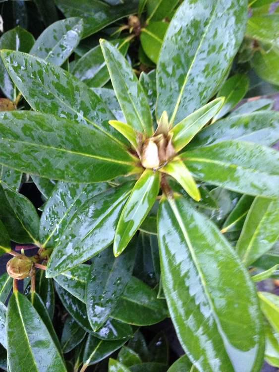 """Prakt rhododendron """"Percy Wisemann"""" -Rhododendron """"Percy Wisemann"""""""