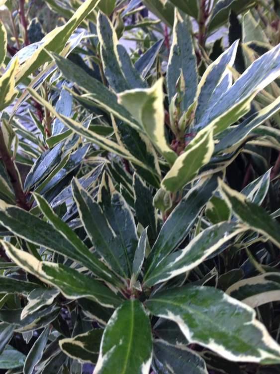 "Vitbrokig rhododendron -Rhododendron 'Ponticum ""Variegata"""