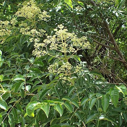 Koreansk biträd - Tetradium daniellii