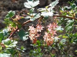 Gordonribs - Ribes gordonianum