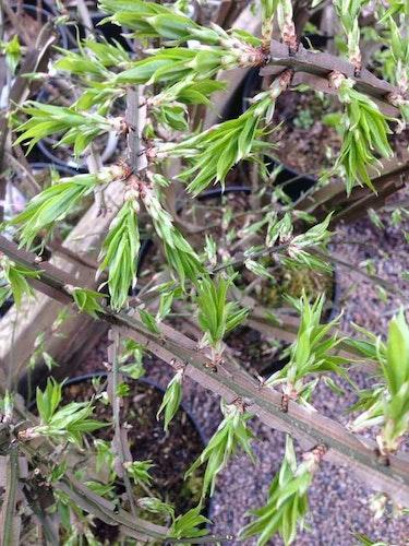 "Vingbenved – Euonymus alatus ""Bladerunner"""