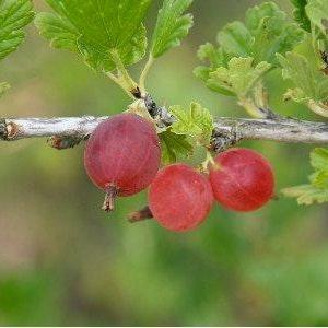 "Krusbär ""Hinnonmaki röd""-Ribes grossularia 'Hinnomaki röd'"