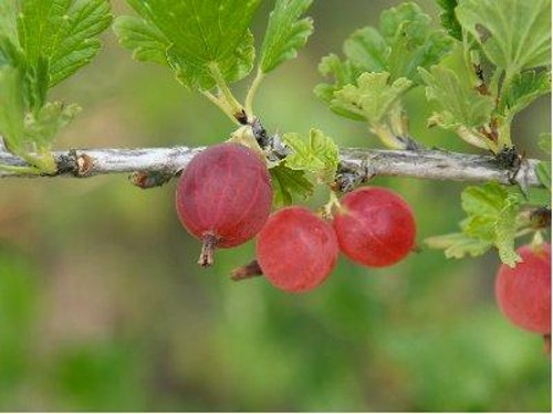 "Krusbär ""Hinnonmaki röd""-Ribes grossularia 'Hinnomaki'"