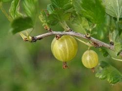 "Krusbär"" Hinnonmaki Grön "" - Ribes uva-crispa"" Hinnonmaki Grön """