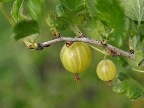 """Krusbär"""" Hinnonmaki Gul """" - Ribes uva-crispa"""" Hinnonmaki Gul """""""