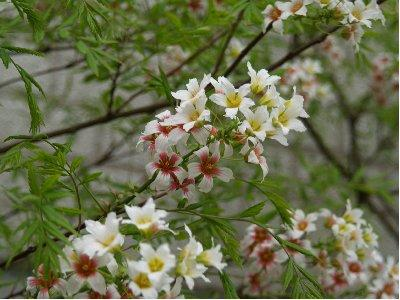 Kinesisk kastanj - Xanthoceras sorbifolium