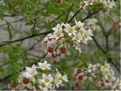 Blomsterkastanj - Xanthoceras sorbifolium
