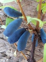 Blåbärstry ´Aurora` -Lonicera coerulea var. kamtschatica ´Aurora`