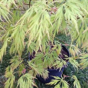 "Flikbladig japansk lönn - Acer palmatum ""Dissectum"""