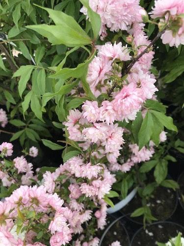 "Mandelkörsbär ""Sinensis Rosea""- Prunus glandulosa 'Sinensis Rosea'"