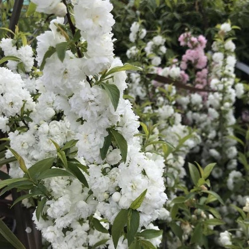 "Vitblommiga mandelskörsbär - Prunus glandulosa ""Alboplena"""