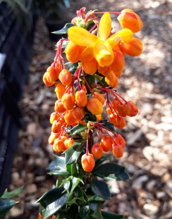 "Berberis lologensis ""Apricot Queen"""