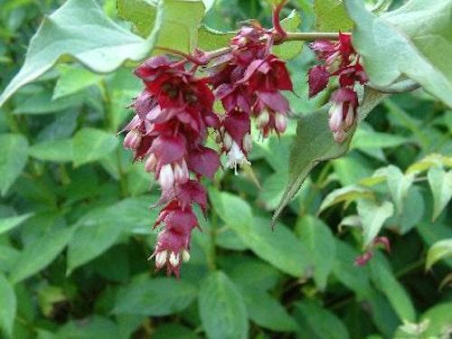 "Himalaya kaprifol – Leycesteria formosa ""Purple Rain"""
