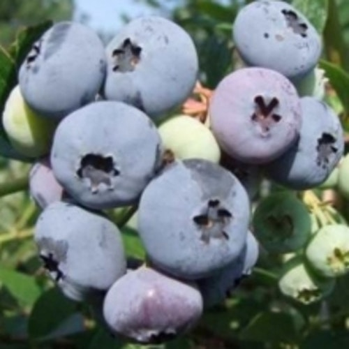 "Amerikansk blåbär ""Elisabeth"" - Vaccinium corymbosum ""Elisabeth"""