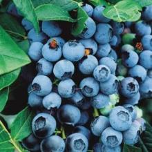 """Blåbär """"Bluecrop"""" - Vaccinium corymbosum """"Bluecorp"""""""