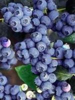 """Amerikansk blåbär """"Darrow - Vaccinium  corymbsum """"Darrow"""""""