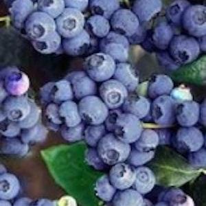 "Amerikansk blåbär ""Darrow - Vaccinium  corymbosum ""Darrow"""