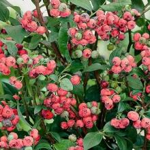 "Blåbär ""Pink Blueberry - Vaccinium corymbosum ""Pink Blueberry"""