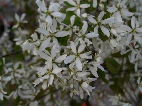 "Kopparhäggmispel - Amelanchier laevis ""Snowflakes"""