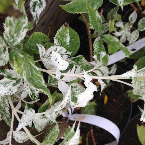 """Variegrerad fläder - Sambucus nigra  """"Pulverulenta"""""""
