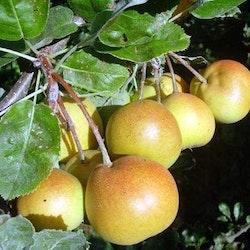 """Shipova (Päronoxel)  -Sorbopyrus auriculata """"Shipova"""""""