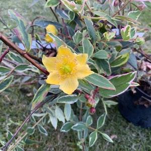 Johannesört -Hypericum  x moserianum 'Tricolor'