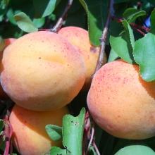 "Aprikos  ""Gönczi magyar"" - Prunus armeniaca ""Gönci magyar"""