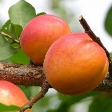 "Aprkosträd ""Harcot"" - Prunus armeniaca ""Harcot"""