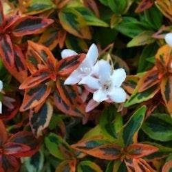 Storblommig  Abelia - Abelia grandiflora 'Kaleidoscope'