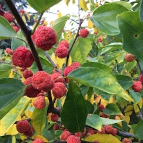 Mandarinmelon berry , (Hallonträd)  - Cudrania tripuscidata 柘