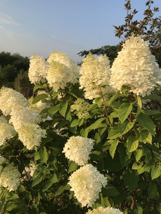 "Vipphortensia ""Limelight"" - Hydrangea paniculata ""Limelight"""