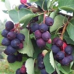 """Sakatoonbär """"Martin - Amelanchier alnifolia """"Martin"""""""