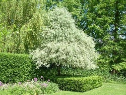 "Hängande silverpäron – Pyrus salicifolia ""Pendula"""