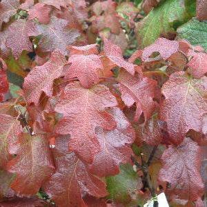 "Ekbladig hortensia ""Burgundy"" - Hydrangea quercifolia ""Burgundy"""