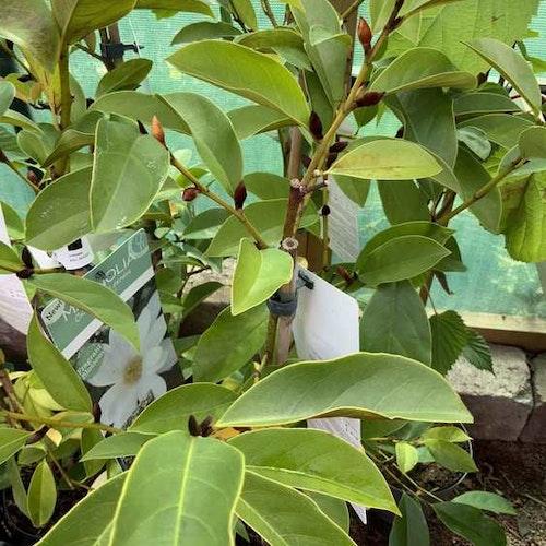 Mchelia magnolia Fairy white