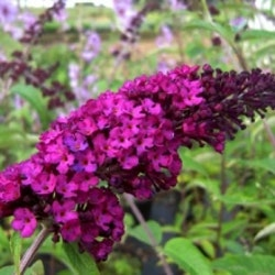 "Syrenbyddleja ""RoyalRed"" - Buddleja davidii ""Royal Red"""