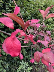 "Benved ""Red Cascade"" - Euonymus europeus ""Red Cascade"""