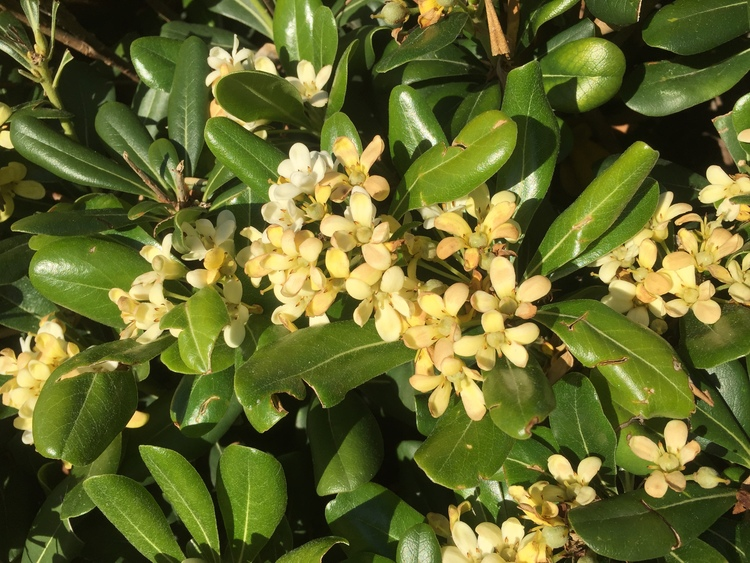 Glansbuske -Pittosporum tobira