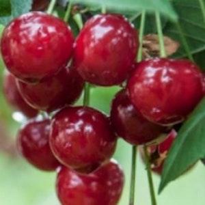 "Surkörsbär ""Érdi bötermö""- Prunus cerasus ""Érdi bötermö"""