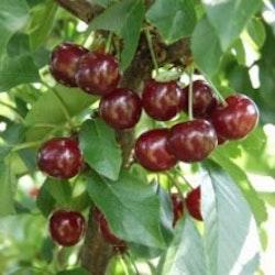 """Surkörsbär """"Memory of Maliga""""- Prunus cerasus """" Memory of Maliga"""""""