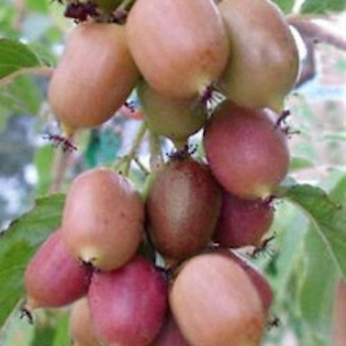 "Minikiwi ""Ananasaya"" - Actinidia arguta ""Ananasaya"