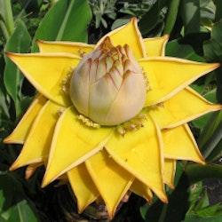 Guldbanan - Musa lasiocarpa