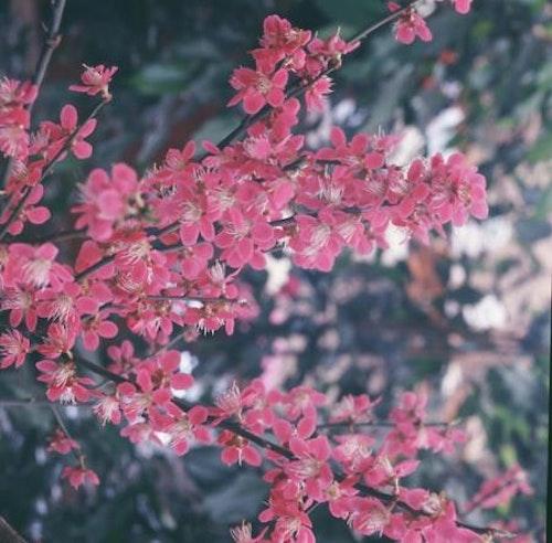 "Umeträdウメ – Prunus mume ""Beni-chi-dori"""
