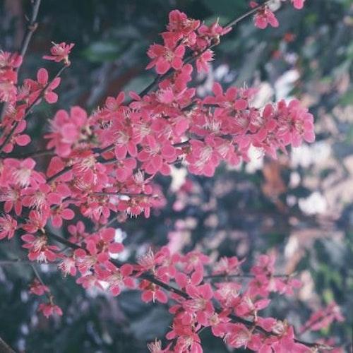 "Japansk plomma, Ume  – Prunus mume ""Beni-chi-dori"""