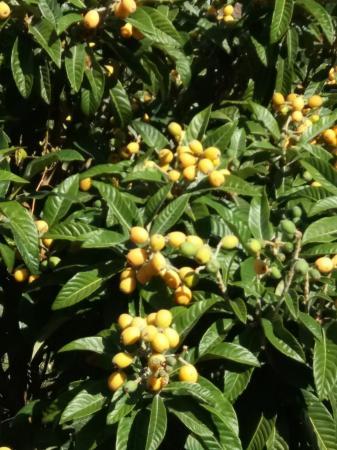 "Japansk mispel ""Coppertone"" -Eriobotrya japonica 'Coppertone'"
