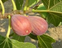 """Fikon """"Della Signora"""" - Ficus carica """"Della Signora"""